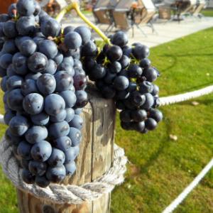 Recline Ridge Grapes